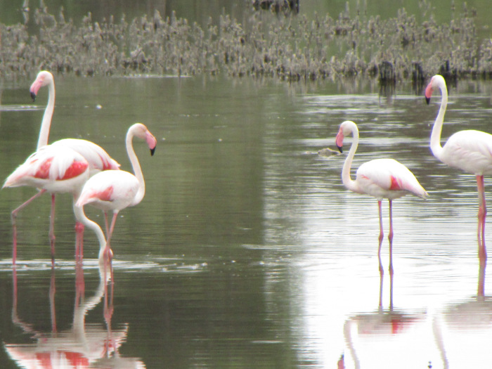 * Flamingos on private lands in Spain