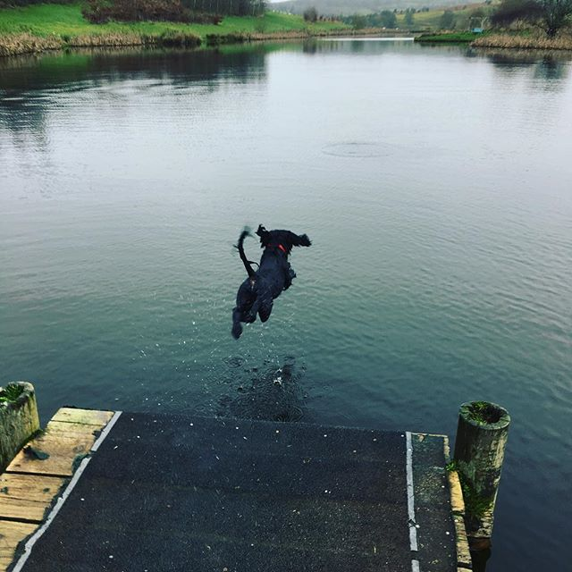 Yeee-haaa! Max leaping into the lake and 2019, thank you Karen for sharing such a joyful photo with us! #happynewyear #2019 #sprocker #sprockerofinstagram #jumpforjoy #fforestfields #ThisIsRadnorshire