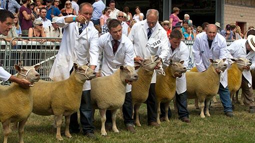 7307393-sheep-jiudging-royal-welsh-2013.jpg