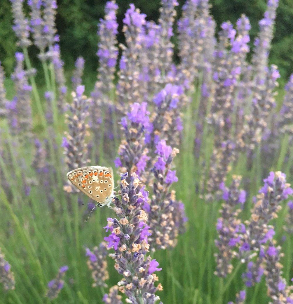 Butterfly lavender.jpg