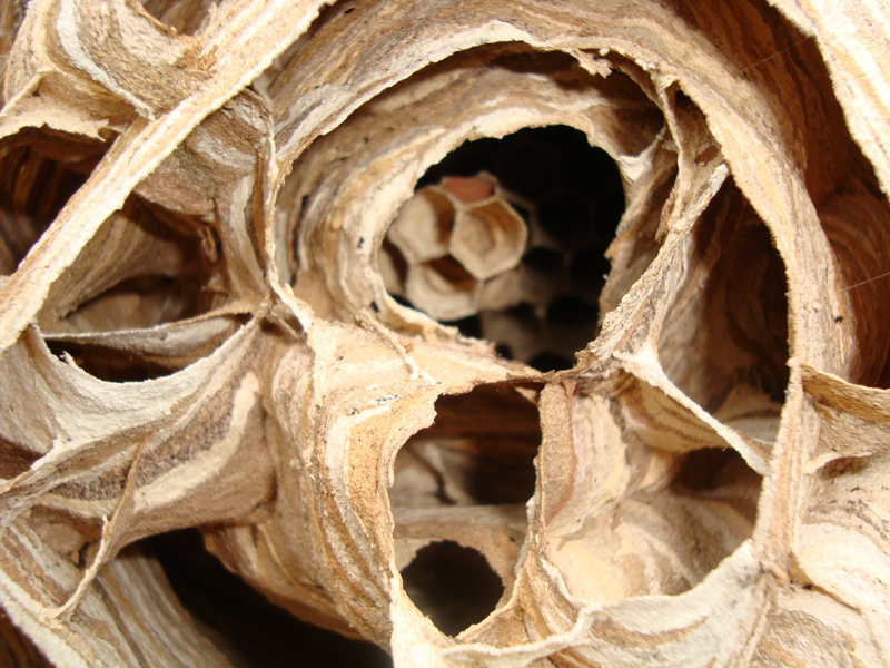 Wasp-nest-closeup.jpg