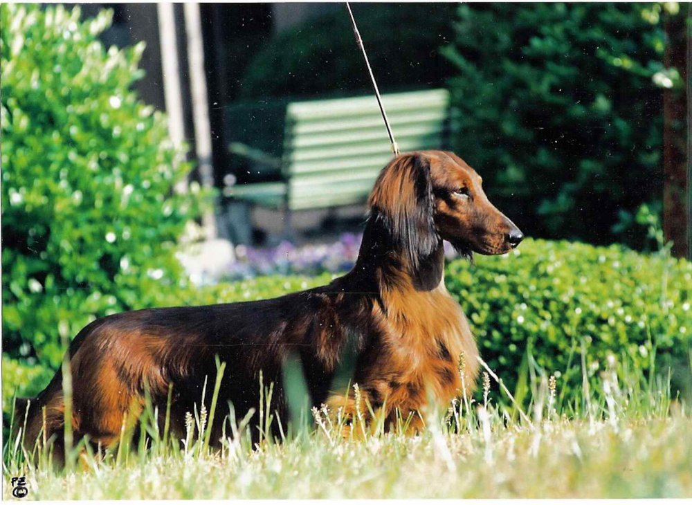 - Follow the link to learn more about the Pramada Koradox Standard Longhair Dachshunds!