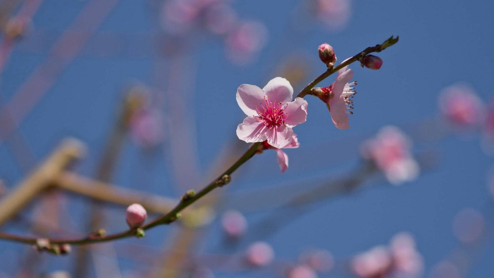 _Apple-Blossoms-2500-1407.jpg