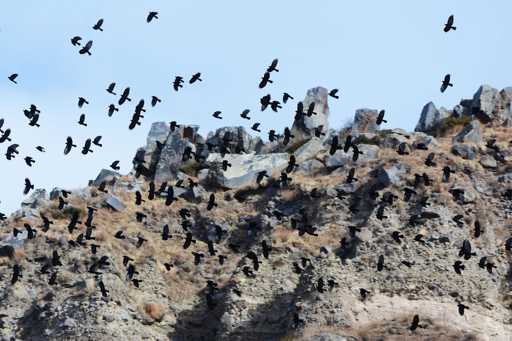 Alpine Choughs. Photo by Alexander Rukhaia.