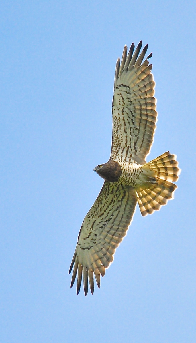 Short-toed Eagle. Photo by Alan Dalton.