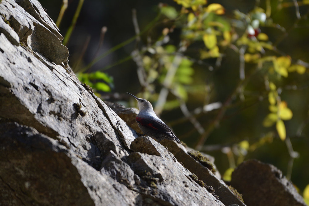 Wallcreeper. Photo by Alexander Rukhaia.