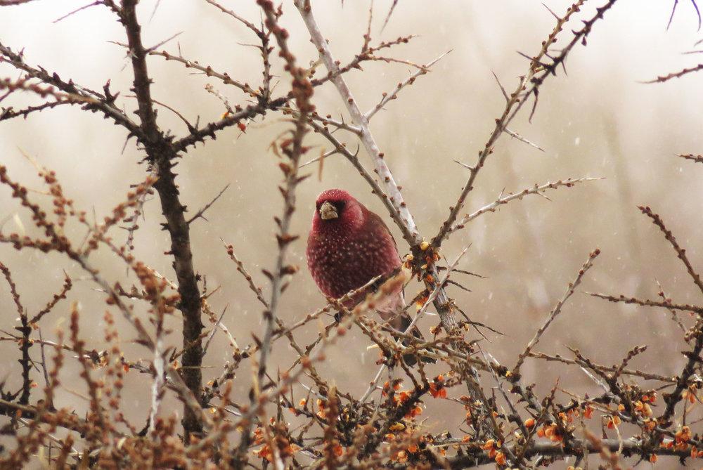 Great Rosefinch. Photo by Dachi Shoshitashvili