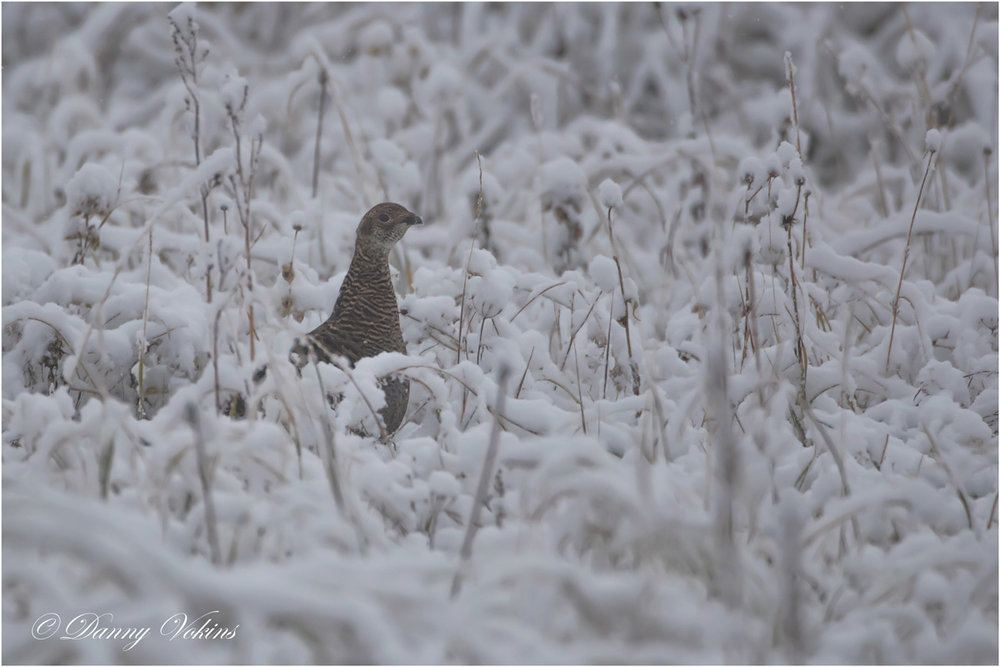 Caucasian grouse female. Photo by Danny Vokins