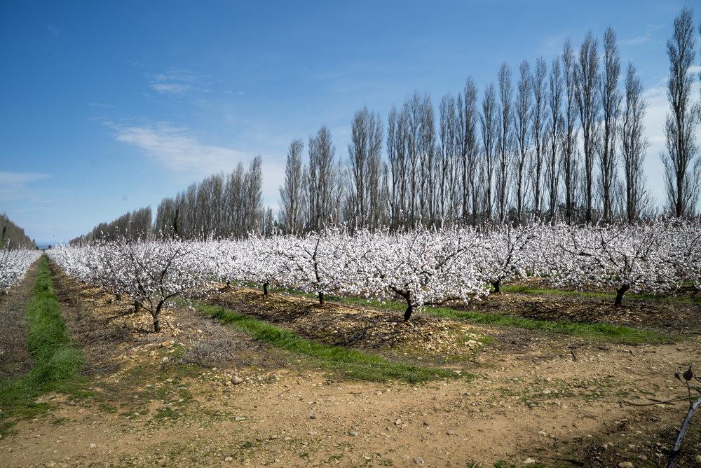 Cherry blossom view, Van Gogh & Japan © EXHIBITION ON SCREEN (David Bickerstaff).jpg