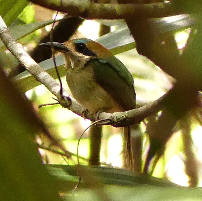 Tody Motmot (Dave Zittin, Guatemala 2017) This species lives deep in the vine tangle and is difficult to photograph. Note that this motmot does not have tail rackets