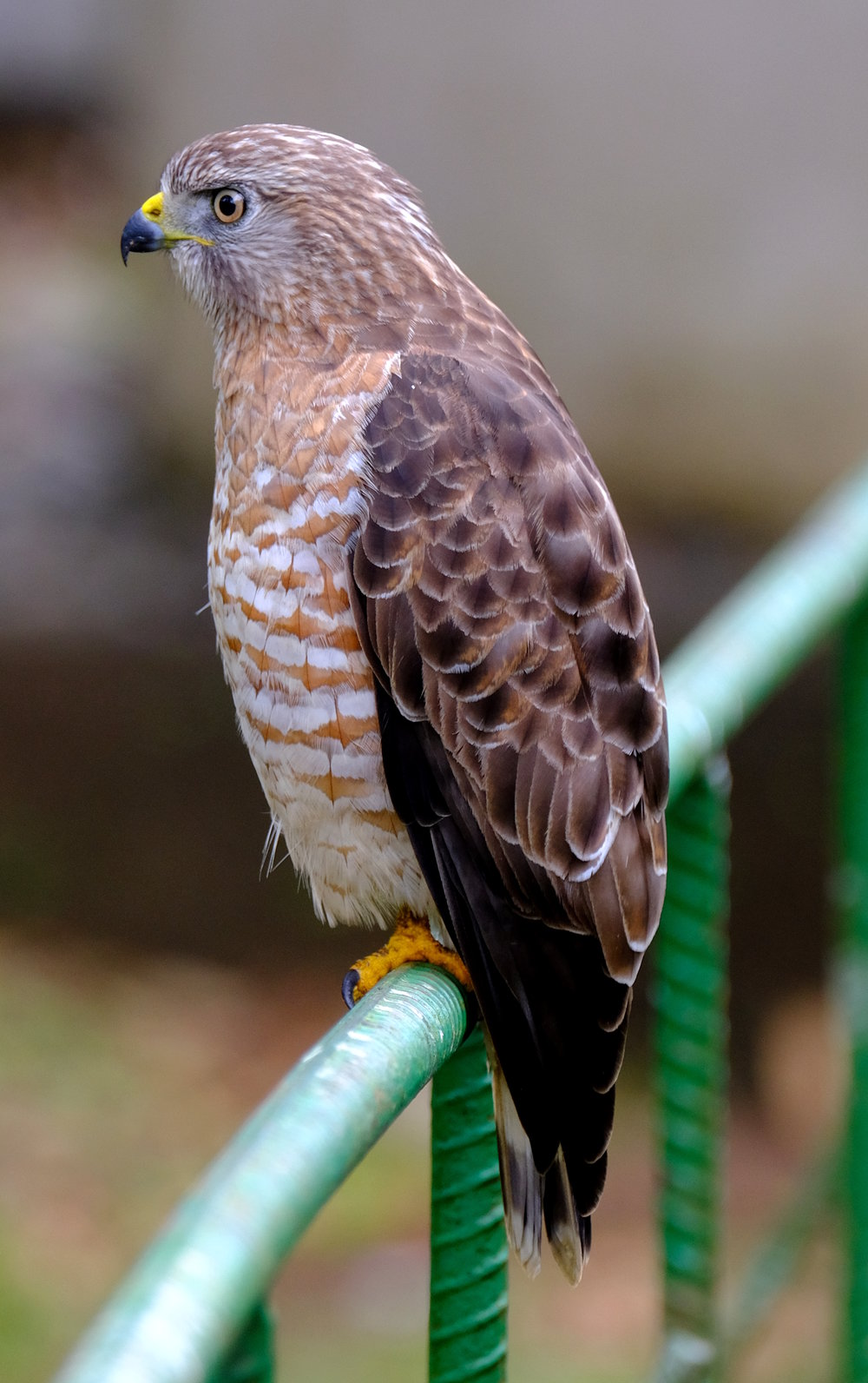 Broad-winged Hawk (David Zittin, Costa Rica 2018)