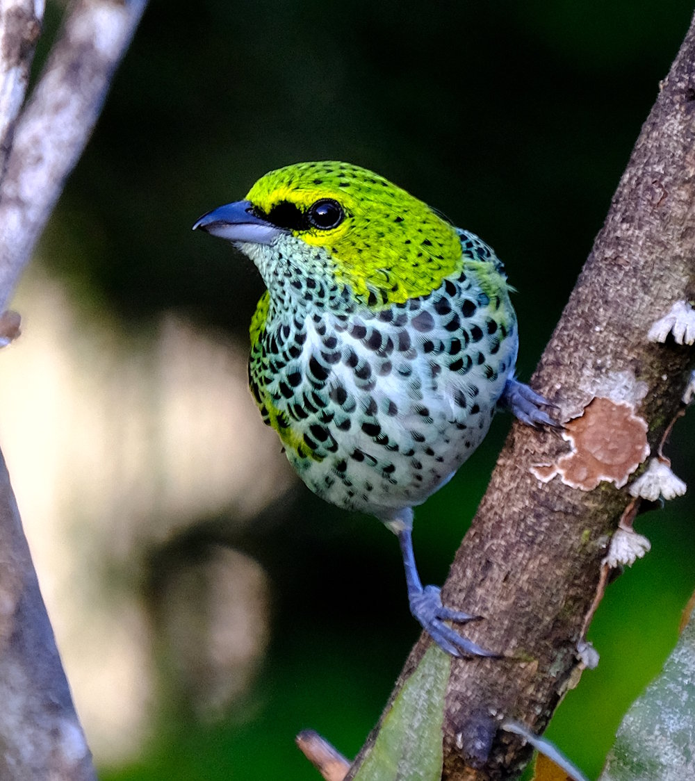 Speckled Tanager (David Zittin, Costa Rica 2018)
