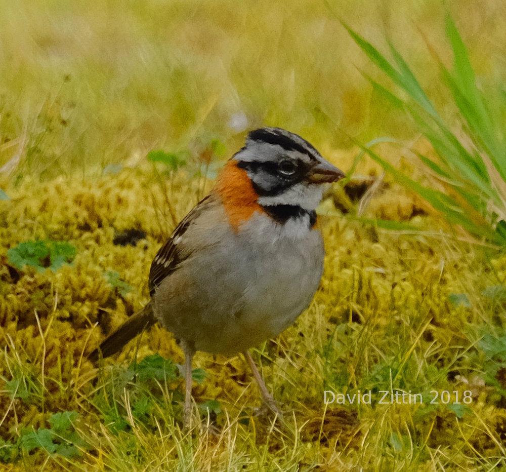 Rufous-collared Sparrow 1.JPG