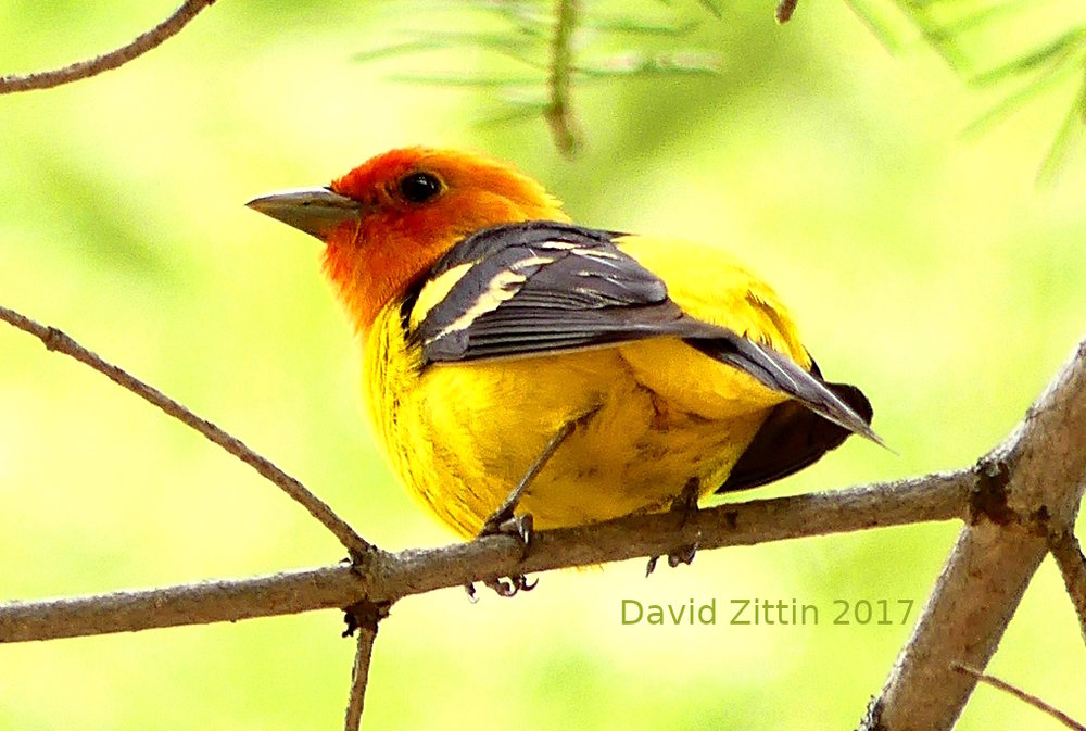 Western Tanager. Photo taken near Truckee, California