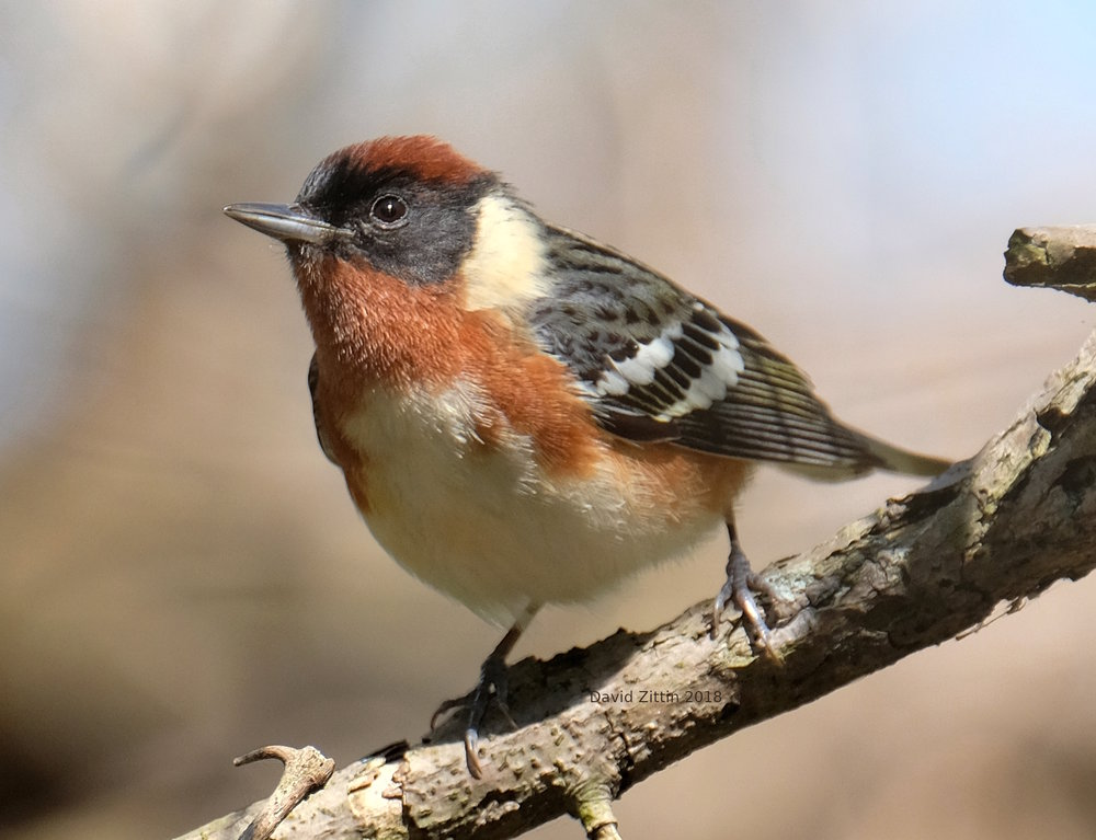 Bay-breasted Warbler.JPG