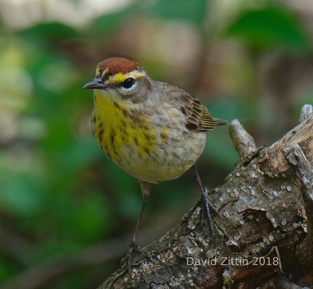 Palm Warbler at Magee Marsh, Ohio