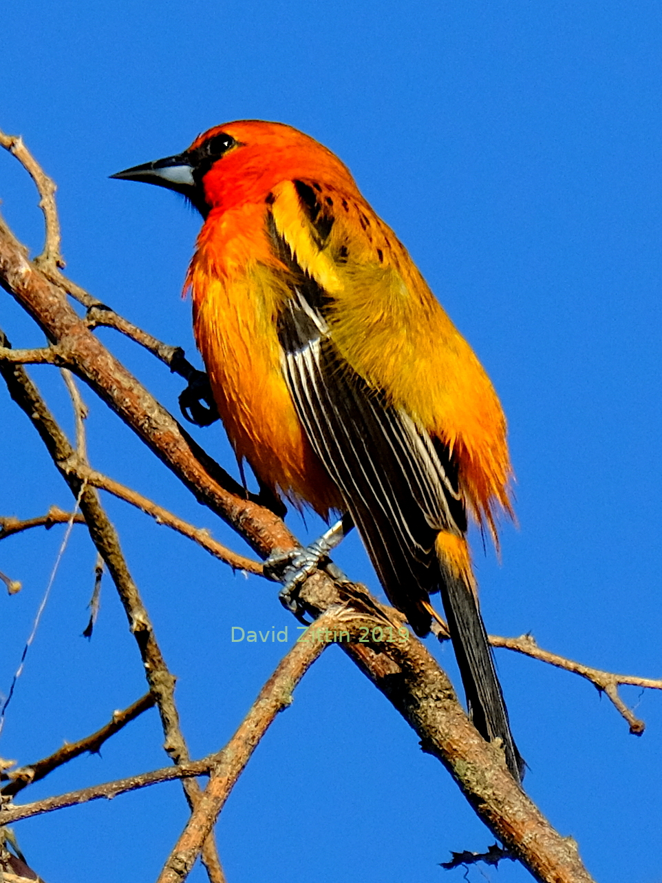 Streak-backed Oriole. Photo taken near Sayulita, Nayarit, Mexico