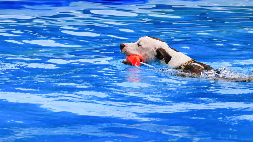 Dog Pool Services -