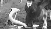1960 - Les premières pompes agricoles OASE ont été développées.