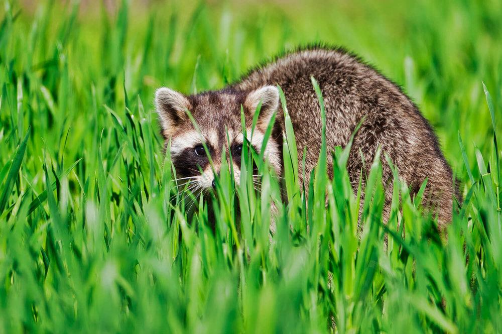 Raccoon Hiding In Grass