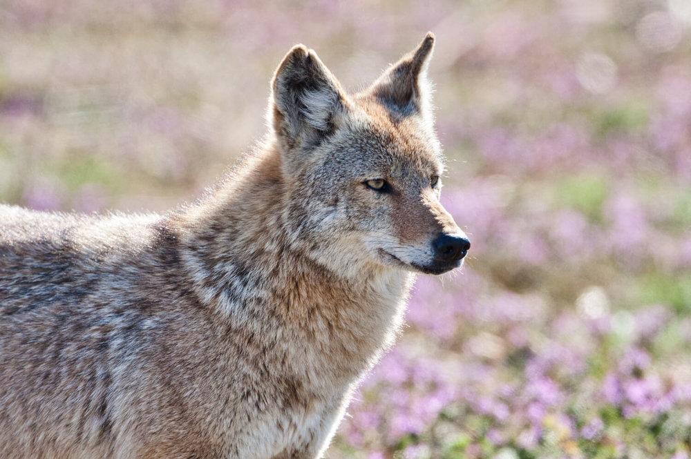 Coyote Profile
