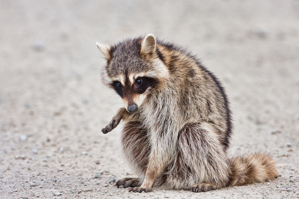 Raccoon With Hurt Paw