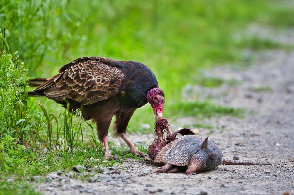 Turkey Vulture Eating Armadillo