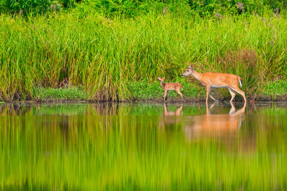 Whitetail Doe And Fawn Near A Pond