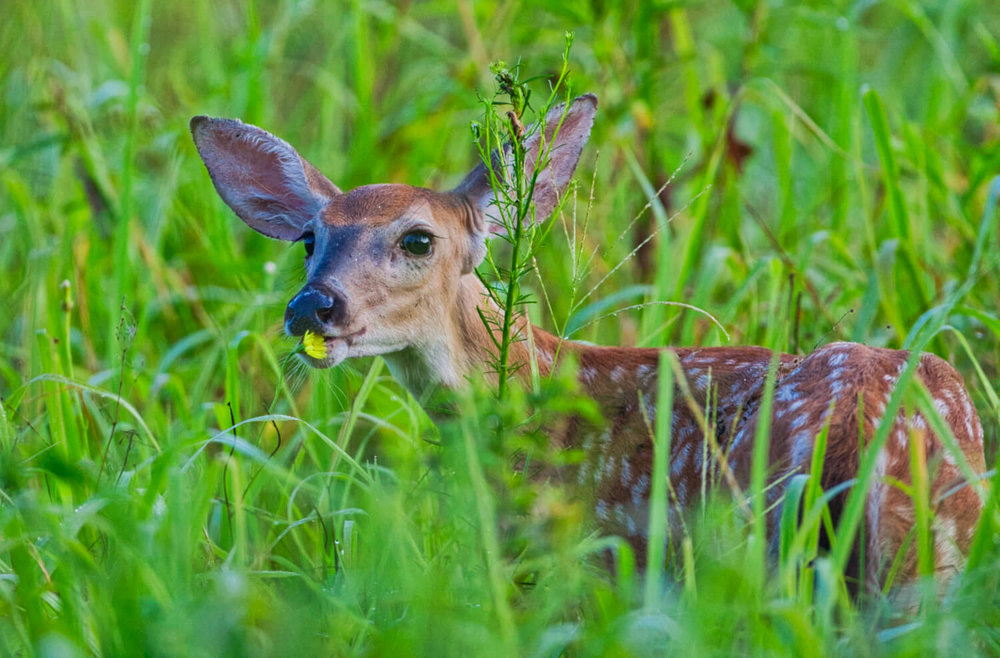 Whitetail Fawn Smelling Flower