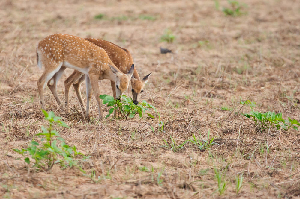 Whitetail Fawn Twins Eating Together