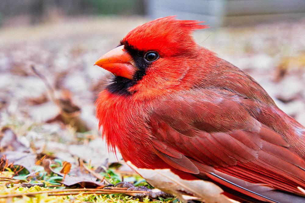 Close look at a Northern Cardinal