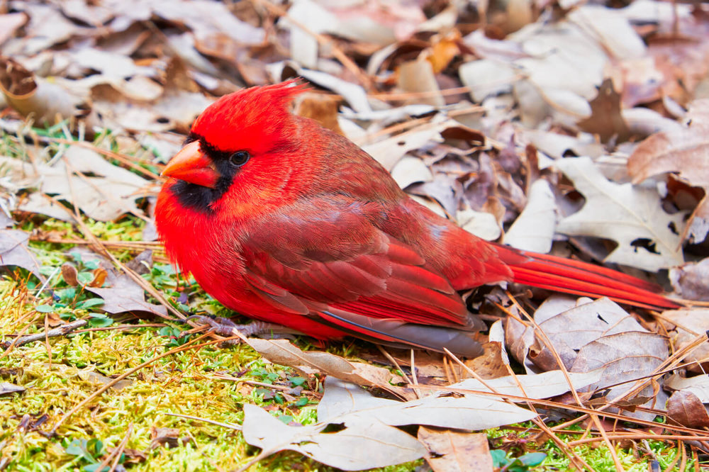 Male Northern Cardinal On The Ground