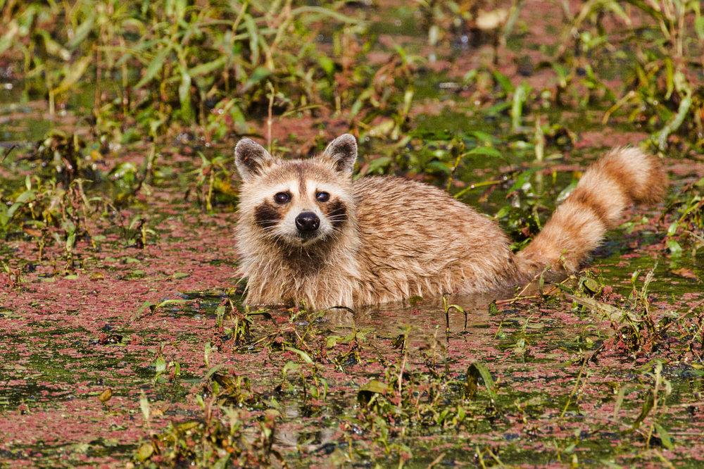 Cinnamon Raccoon