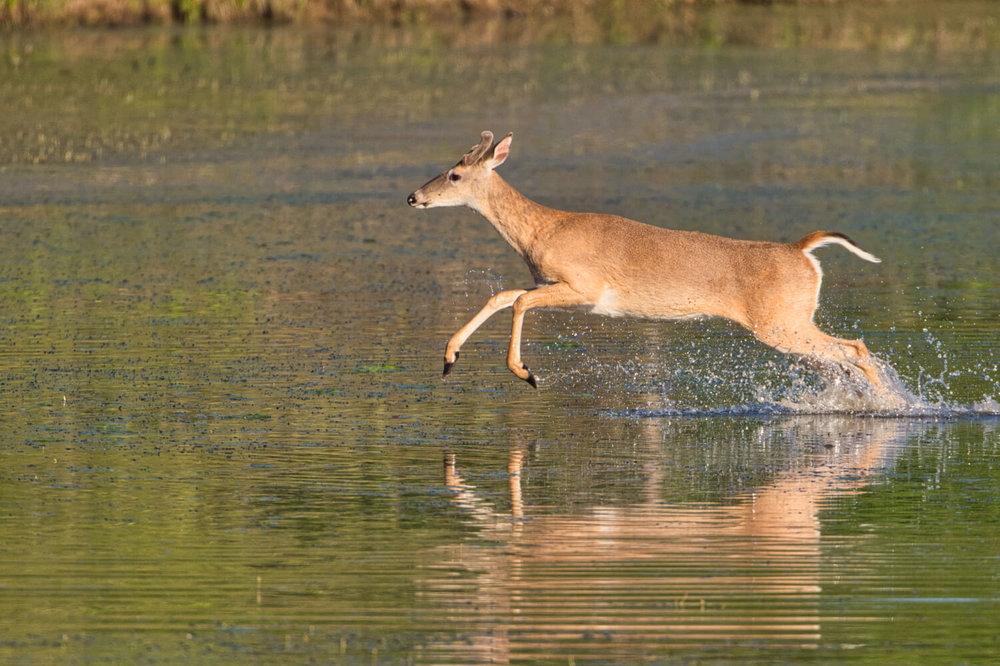Whitetail Buck Running Through Water