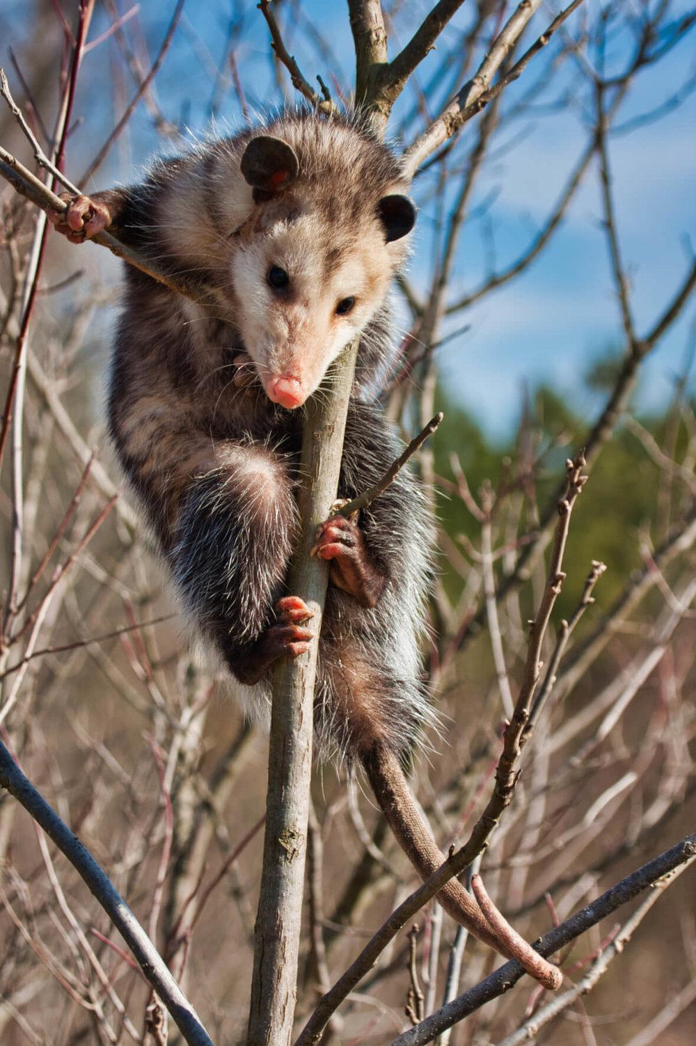 Opossum In A Tree - Fort Chaffee - Arkansas
