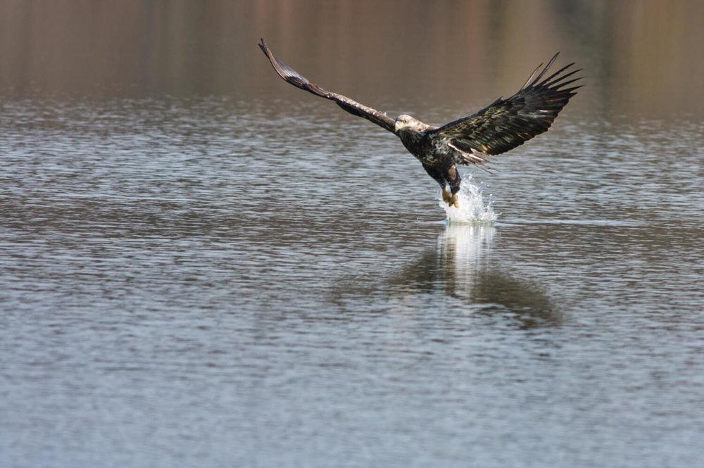 Bald Eagle - Engineer Lake - Fort Chaffee - Arkansas
