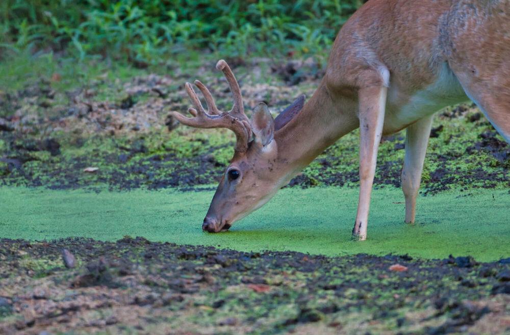 Whitetail Buck Drinking