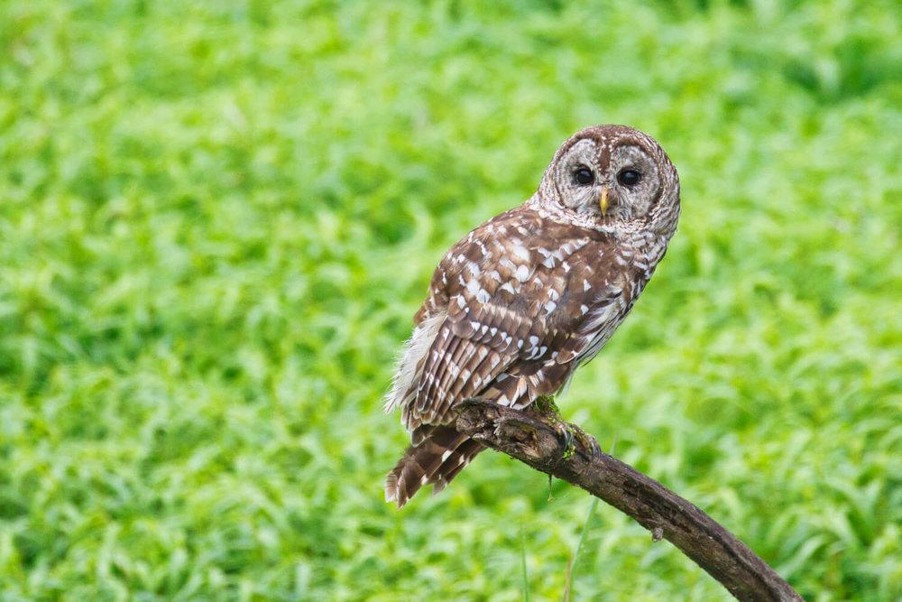 Barred Owl On A Dead Limb