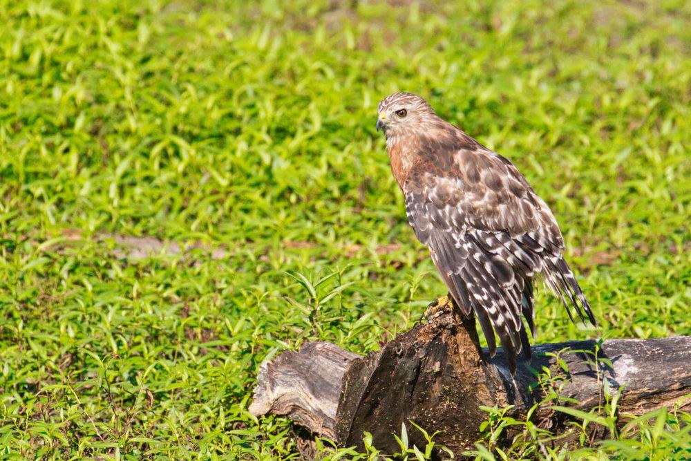 Hawk On A Dead Tree