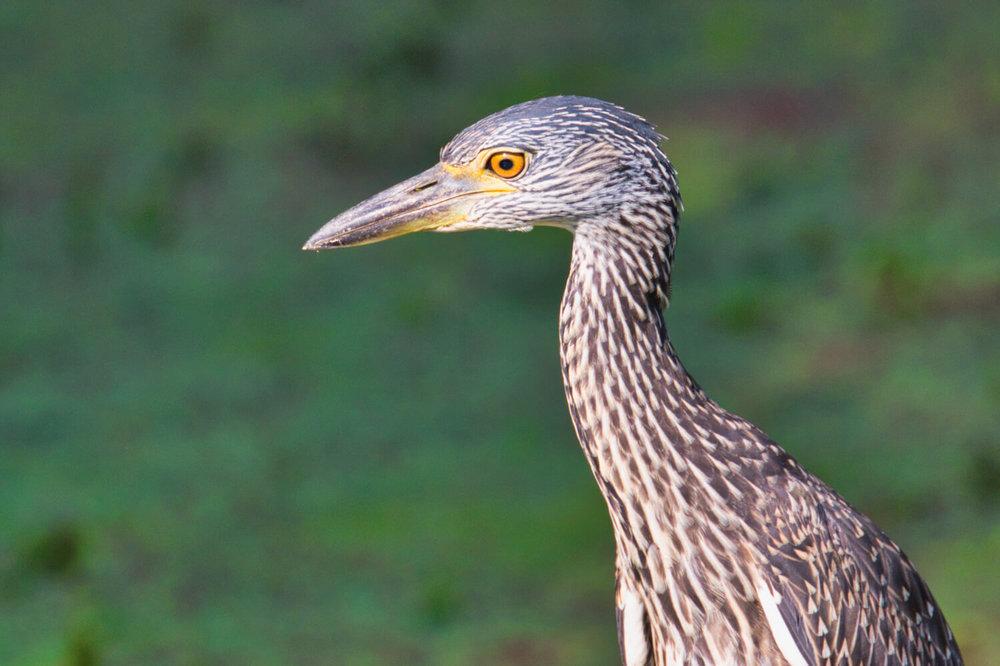 Yellow-crowned Night-Heron Profile