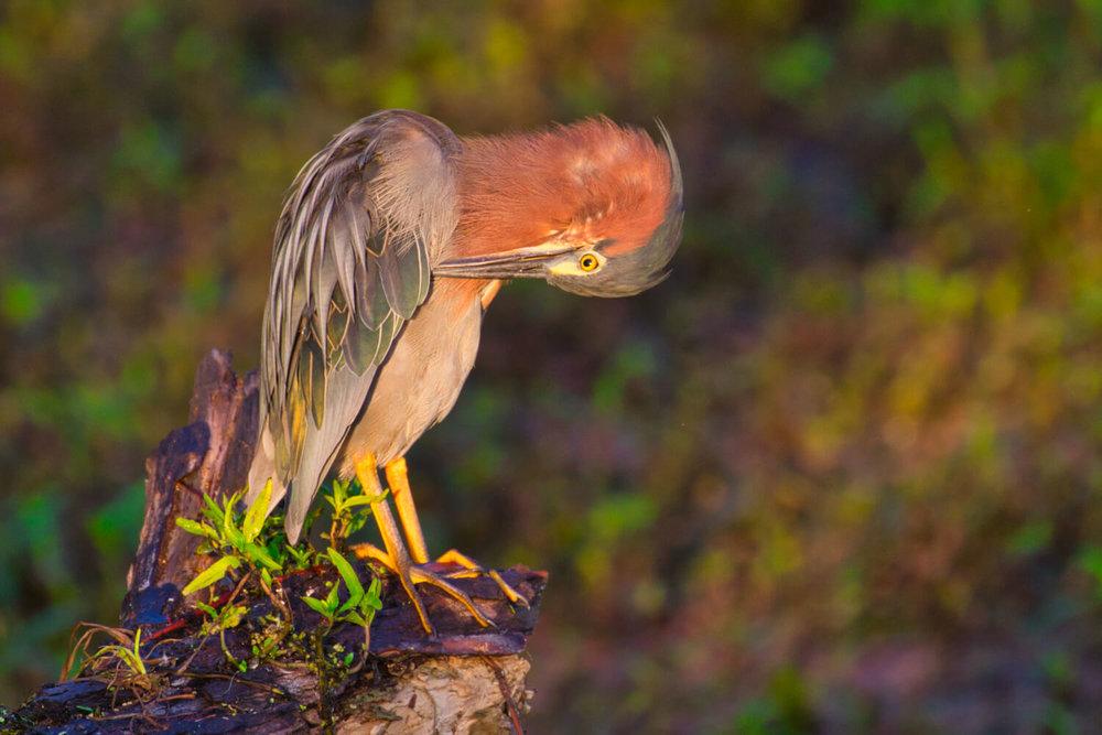 Green Heron Grooming Wing
