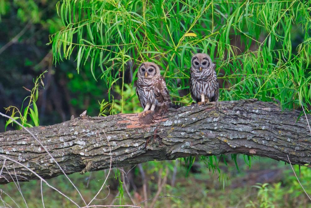 Barred Owl Chicks