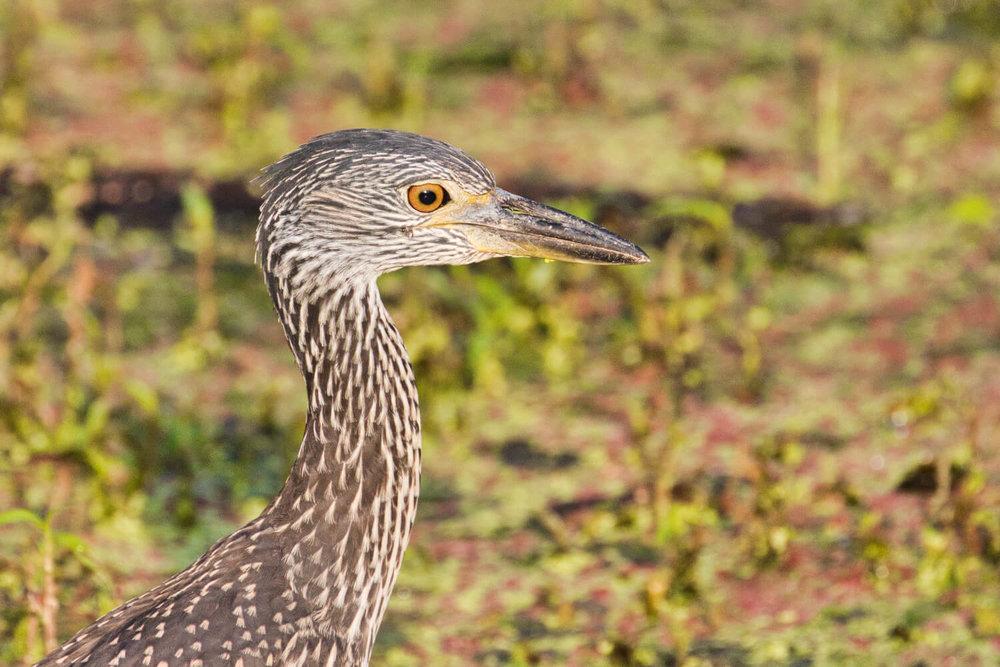 Yellow-Crown Night-Heron
