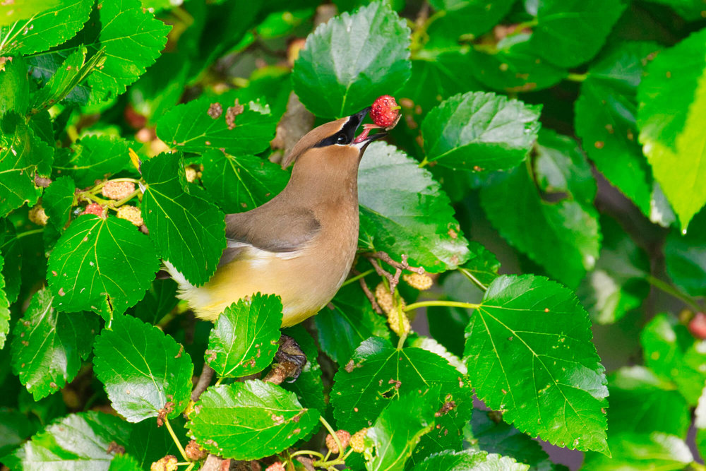 Cedar Waxwing With Mulberry
