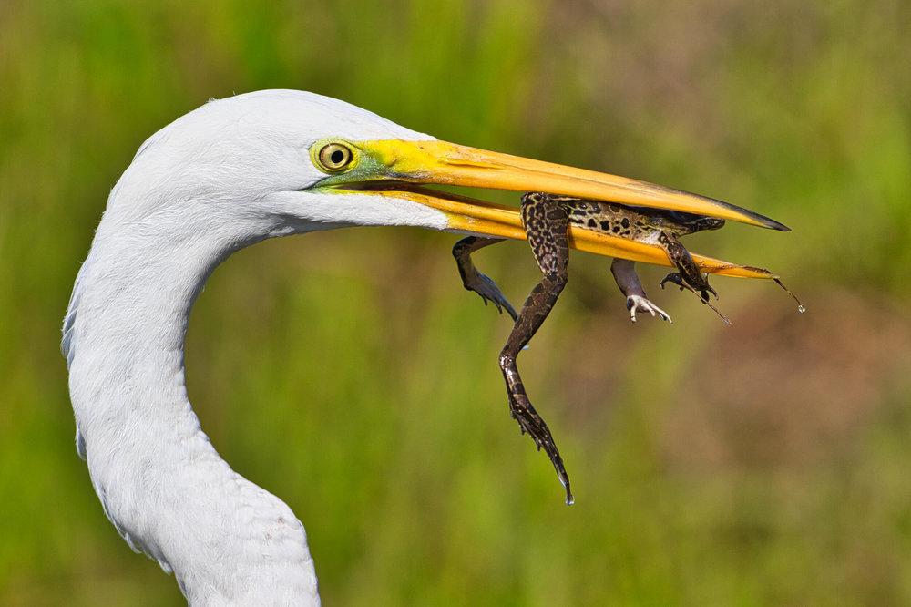 Great Egret Eating Frog