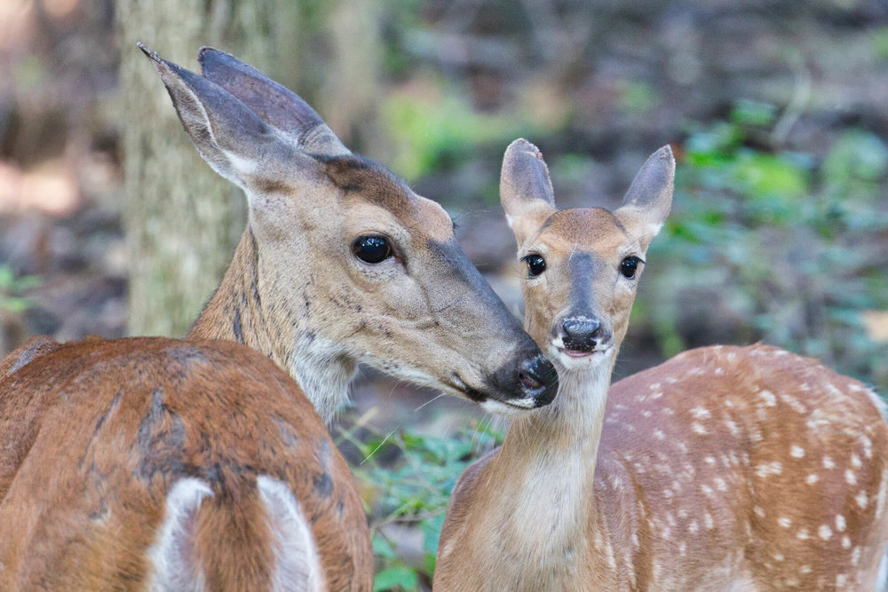 Whitetail Doe and Fawn