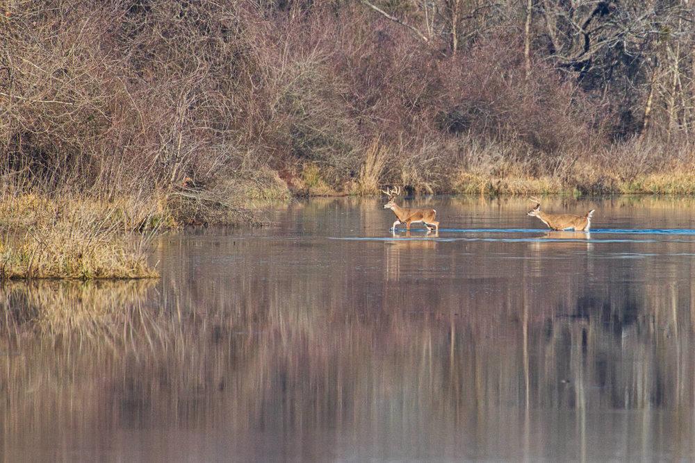 Whitetail Bucks Water Crossing