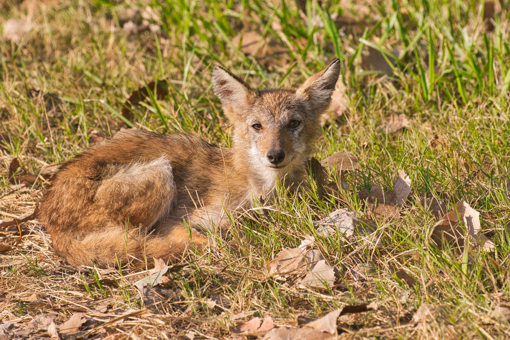 Coyote Pup Resting