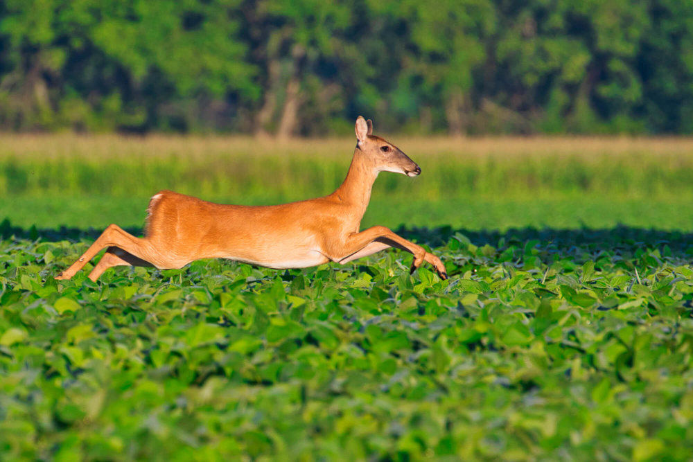 Whitetail Doe Leaping