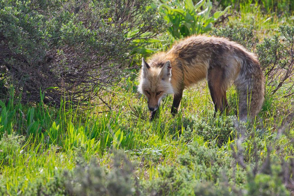 Fox At Grand Teton National Park